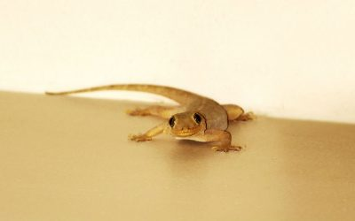How to Get Rid of House Lizards in The Philippines